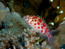 Elf hawkfish Stockbild