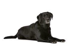Elf Jahre alte schwarze Labrador Stockbilder
