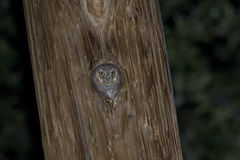 Elf Owl, Micrathene whitneyi, nesting in a post Stock Photography