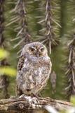 Elf Owl Stock Photography