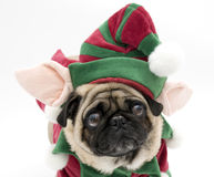Elf Pug Royalty Free Stock Photography