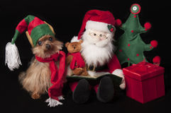 Elf yorkshire terrier dog Royalty Free Stock Image