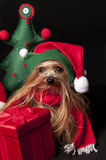 Elf yorkshire terrier dog. Female Yorkshire terrier dog dressed like christmas elf Royalty Free Stock Photos