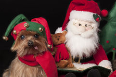 Elf yorkshire terrier dog. Male Yorkshire terrier dog dressed like christmas elf Stock Photos