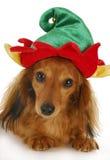Elfa bożenarodzeniowy pies Fotografia Stock