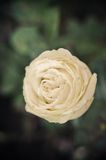 Elfenbein-Rose Vintage-Art Lizenzfreie Stockbilder