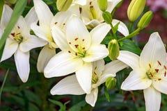 Elfenbenvit lilly i hem- grön trädgård royaltyfri bild