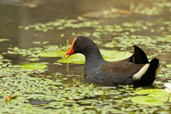 Elgant Moorhen Stock Photo