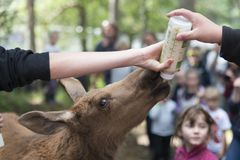 Elgtun moose park norway Stock Photo