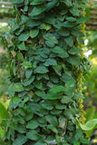 Elig trees var gröna. Royaltyfri Fotografi