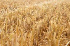 Elimine as hastes do trigo que colam fora da terra foto de stock