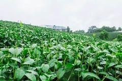 Elimine o chá na exploração agrícola imagem de stock royalty free