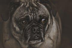 Eliot το Pugle Στοκ Εικόνα