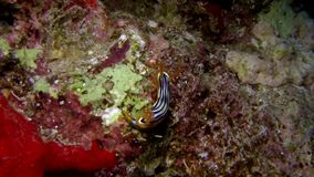 Elisabeth`s chromodoris Chromodoris elisabethina in Red sea stock video