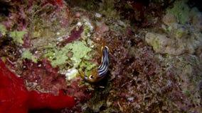Elisabeth`s chromodoris Chromodoris elisabethina in Red sea stock video