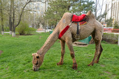 ELISTA, RUSSIA. The two-humped camel under a saddle for driving of tourists is grazed on a lawn. ELISTA, RUSSIA - APRIL 18, 2017: The two-humped camel under a Royalty Free Stock Image