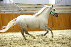 Elite lipizzan horse galloping across the arena Royalty Free Stock Image
