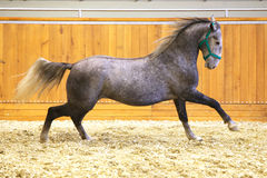 Elite lipizzan horse galloping across the arena Stock Images