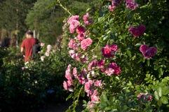 Elizabeth Park Five - rosa rosor Arkivfoto