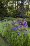 Elizabeth Park Fourteen - Beautiful Irises Royalty Free Stock Photo