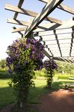 Elizabeth Park One - flores roxas imagem de stock