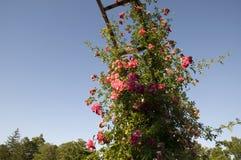Elizabeth Park - rosför evigt Royaltyfri Bild