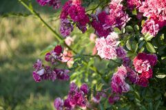 Elizabeth Park Six - rosa rosor Royaltyfri Fotografi