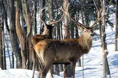 Elk. Wild elks on a cold Winter Day Stock Images