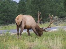 Elk. Grazing by the roadside Royalty Free Stock Photography