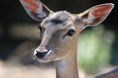 Elk. Portrait of young deer on nature Royalty Free Stock Photo