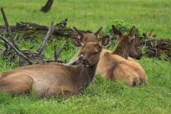 Elk. 3 Elk does resting near Portage in Alaska Royalty Free Stock Photos