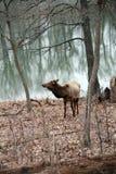 Elk Royalty Free Stock Photo