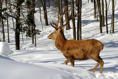 Elk. Wild elk on a cold winter day Stock Image