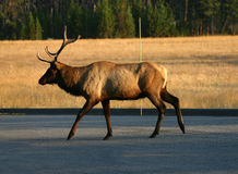 Elk. An Elk is crossing the road Stock Photography