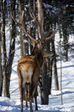 Elk. Wild elks on a cold day in winter Royalty Free Stock Images
