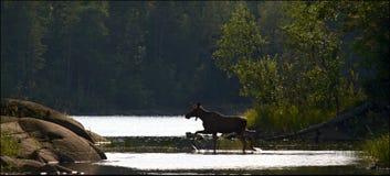 Elk. The elk passes through a stream in wood. Counterlight illumination Stock Photos