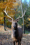 Elk. Wild elk on a beautifull day in autumn Royalty Free Stock Photo