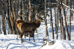 Elk. Wild elks on a cold day in winter Stock Photo