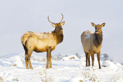 Elk Stock Photos
