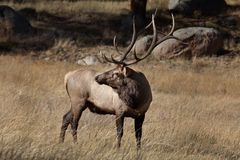 Elk Royalty Free Stock Photography