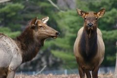 Elk royalty free stock images
