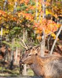 Elk. In nature during fall Royalty Free Stock Image