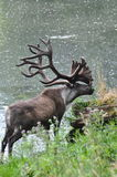Elk. Large elk with monster size antlers Royalty Free Stock Image