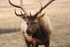 Elk Stock Photos