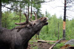 Elk. Laughing  elk  in a moose-farm for orphaned elks the woods of sweden Royalty Free Stock Images