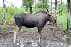 Elk. In a moose-farm for orphaned s the woods of sweden Royalty Free Stock Image