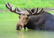 Elk. Moose in their natural habitat Stock Image