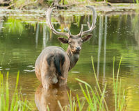 Elk Royalty Free Stock Photos