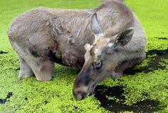 Free Elk 3 Royalty Free Stock Images - 25625439