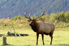 Elk. In Alaskan countryside stock photo